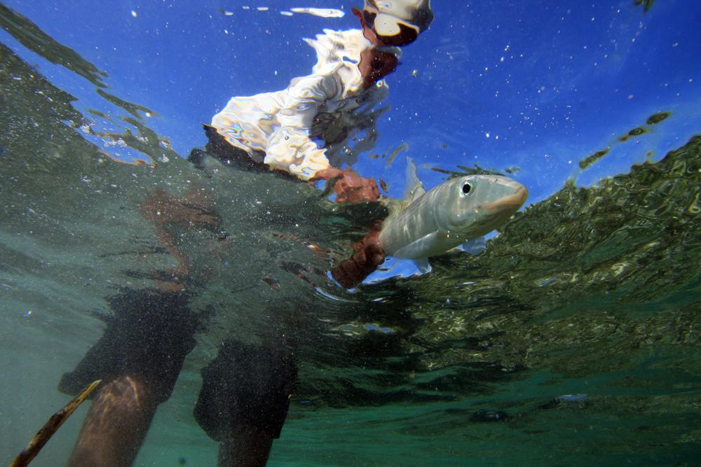 Bottoms up look at a Honduran bonefish.