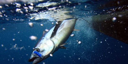 tuna_flyinmouthhlfnhlfboatvrtcrpd1